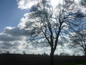 Lindenallee klein Einzelbaum 540