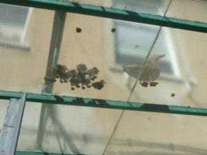 Ente klein Blick durchs GlasdachP1020737