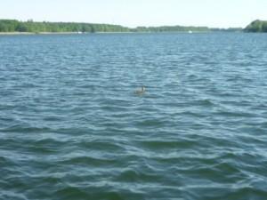 Ente klein WegschwimmendP1020746
