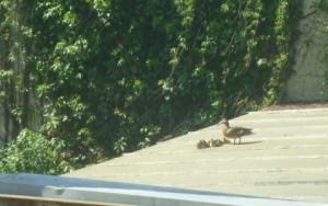 Ente klein auf GlasdachP1020729