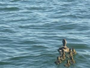 Ente klein im WasserP1020745