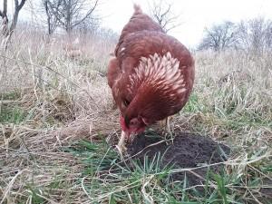 Hühnermobil drei