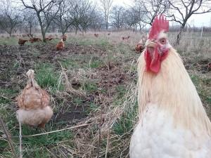 Hühnermobil vier