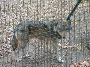 Wolf fünfunddreißig