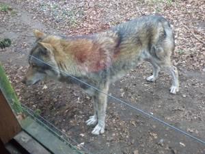 Wolf siebzig