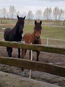 Ronny Ostwald zwei Pferde