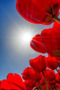 Tulpe acht