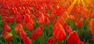 Tulpe eins