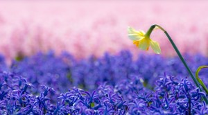 Tulpe fünf
