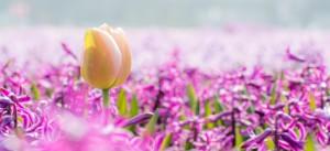 Tulpe vier