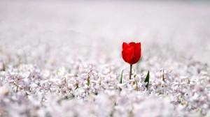 Tulpe zehn