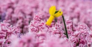 Tulpe zwei